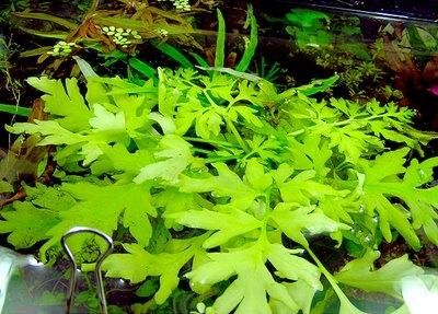 Семейство роговидные ceratopteridaceae